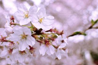 花,春,桜,花見,桜の花