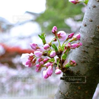 花,春,桜,芽,ブロッサム