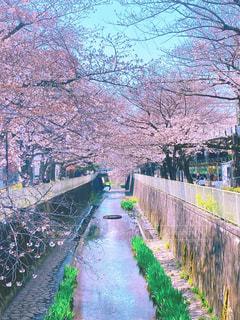 花,春,桜,川沿い,桜の花,桜の木