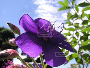 植物の紫色の花の写真・画像素材[1412676]