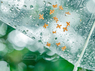 花,雨,傘,緑,水,水滴,雫,梅雨,玉ボケ,金木犀,ビニール傘