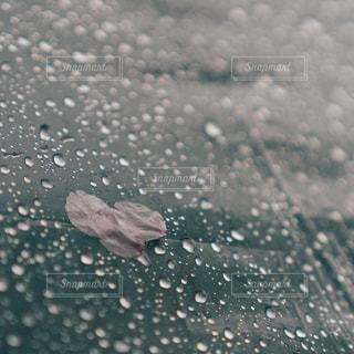 花,桜,雨,傘,水,水滴,雫,ビニール傘