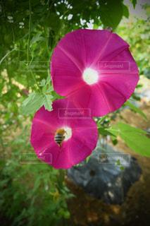 朝顔と蜜蜂の写真・画像素材[1397153]