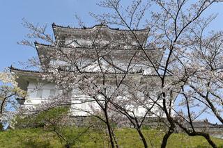 桜と小田原城の写真・画像素材[1981048]