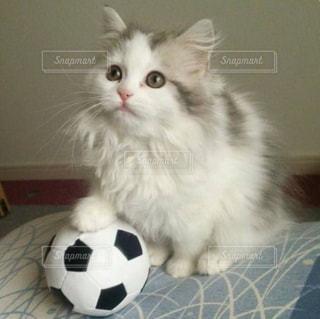 猫,動物,サッカー