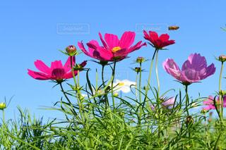 花,秋,ピンク,コスモス,カラフル,綺麗,鮮やか,蜂,フルーツフラワーパーク