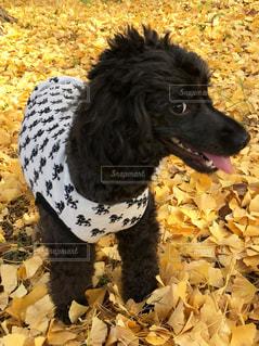 犬,秋,散歩,黄色,ペット,イチョウ,銀杏,イエロー,黒犬