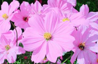 ピンク,コスモス,ピンク色,桃色,pink,ひらかたパーク