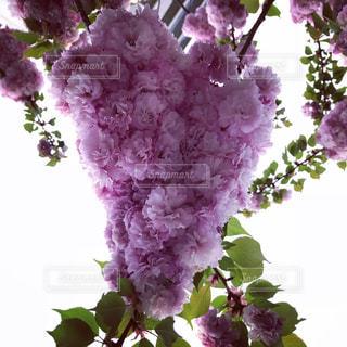 桜,ピンク,ピンク色,桃色,pink,造幣局 桜の通り抜け