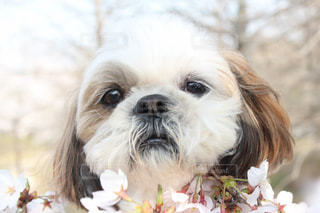家族,犬,春,桜,動物,季節,ペット,野外,愛犬,わんちゃん,シーズ