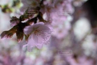 桜の写真・画像素材[1805660]
