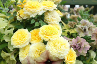 花,春,黄色,バラ,薔薇,ローズ,イエロー,ローズガーデン