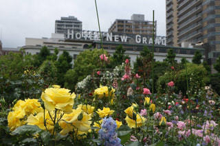 花,春,黄色,バラ,薔薇,横浜,ローズ,イエロー,ローズガーデン,ホテルニューグランド