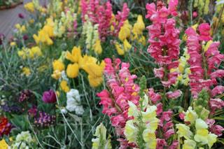 花,春,黄色,チューリップ,イエロー