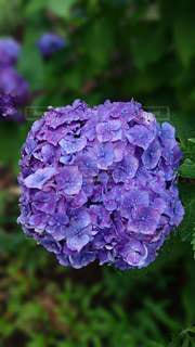 花,雨,紫陽花,梅雨,草木,ガーデン