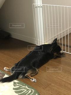 犬,チワワ,床,いぬ,夏バテ