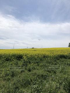 菜の花畑の写真・画像素材[1397514]