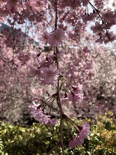 桜の花の写真・画像素材[1397516]