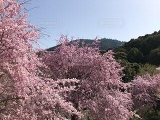 桜満開の三輪神社の写真・画像素材[1434756]