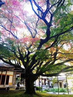 自然,秋,紅葉,木,屋外,植物,大木,楓,お寺,一本,福岡県,糸島市,雷山