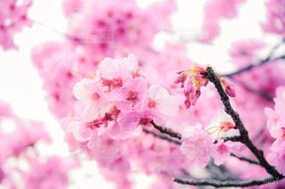 花,春,桜,東京,ピンク,上野公園