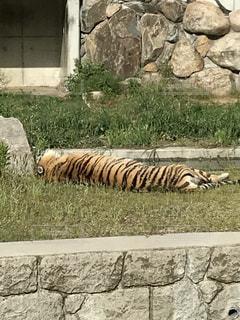 夏,太陽,綺麗,動物園,虎,暑さに負けるな,暑さに負けた