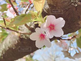 春,桜,屋外,東京,ピンク,昭和記念公園,pink,フォトジェニック