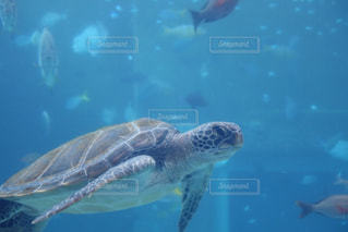 水の下で泳ぐ海亀の写真・画像素材[1328704]