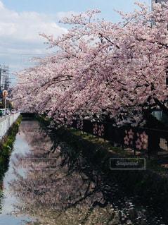 自然,春,桜,屋外,川,花見