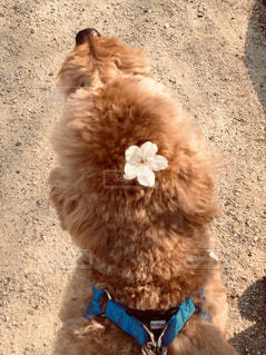 犬,花,春,桜,散歩,トイプードル