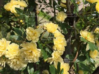 花,春,庭,黄色,ガーデニング,薔薇,美しい,イエロー,モッコウバラ,ガーデン,クリーム色