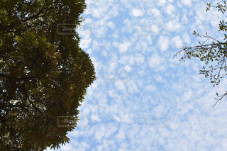 風景,空,木,東京,雲,きれい,のんびり,日中,羊雲