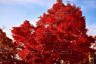 赤い葉の木の写真・画像素材[1640043]