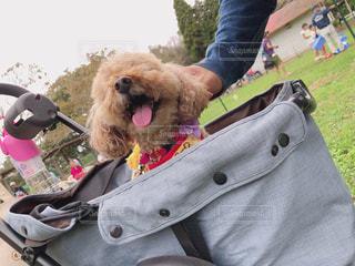 犬,動物,屋外,かわいい,散歩,牧場,いぬ,笑顔,プードル,ベロ,わんちゃん