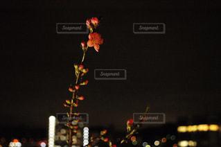 梅の写真・画像素材[1369944]