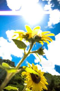 向日葵の写真・画像素材[1383454]