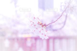 花,春,桜,ピンク,ぼかし,一眼レフ,須磨,天井川,妙法寺川