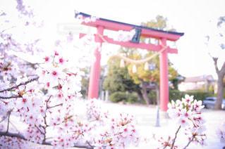 桜鳥居⛩🌸の写真・画像素材[1435082]