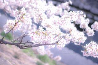 花,春,桜,ピンク,神戸,一眼レフ,須磨,天井川,妙法寺川