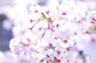 花,春,桜,ピンク,神戸,須磨,天井川,妙法寺川