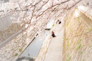 春,桜,花見,お花見,神戸,須磨,妙法寺川