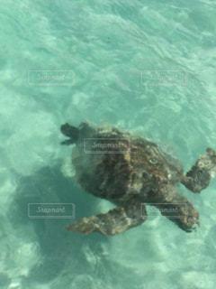 ハワイでカメと一緒に泳いだ思い出の写真・画像素材[2333906]