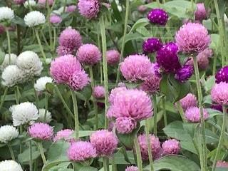 花,秋,ピンク,可愛い,ピンク色,桃色,山口県,pink,千日草,千日紅,花博,阿知須