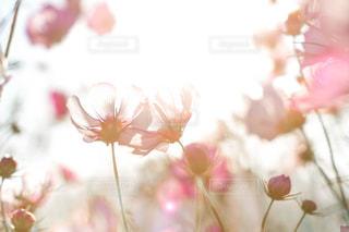 花,秋,カメラ,コスモス,光,写真,デジタル,オールドレンズ,埼玉県,鴻巣