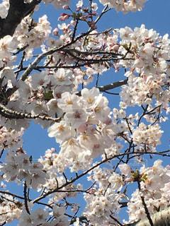 自然,花,春,桜,ピンク,外