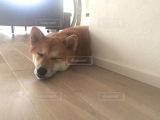 犬,動物,屋内,かわいい,家,ペット,柴犬,睡眠,生き物,眠り,愛犬,夏バテ,熱中症,熱中症対策,暑がり