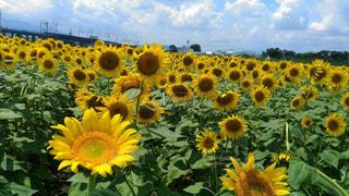 真夏のひまわり畑の写真・画像素材[1384342]