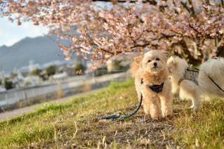 春,桜,お花見,河津桜
