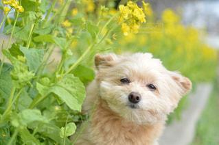 菜の花の中から覗く犬 ころすけの写真・画像素材[1840562]