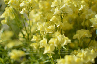 花,春,黄色,黄色い花,ビタミンカラー,flower